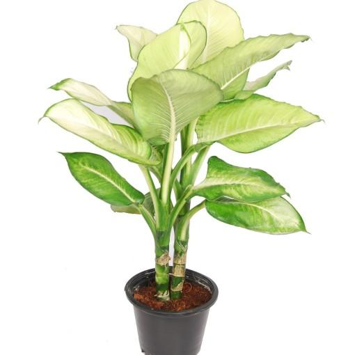 Dieffenbachia 'Tropic Marianne' (Van der Arend Tropical Plantcenter)