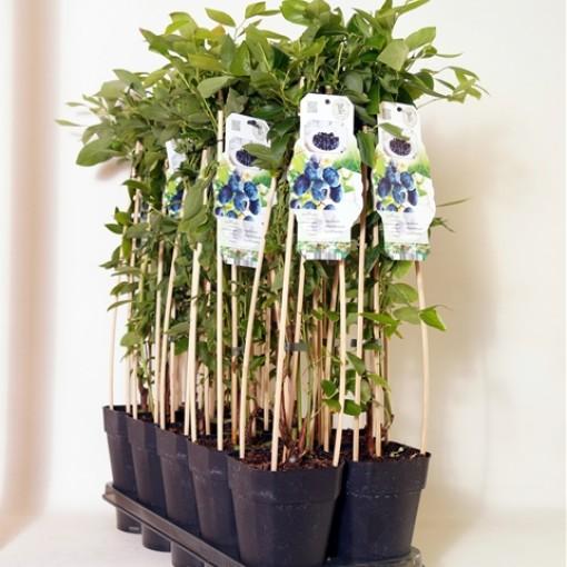 Vaccinium corymbosum 'Goldtraube 71' (BOGREEN Outdoor Plants)