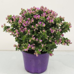 Polygala myrtifolia BIBI PINK