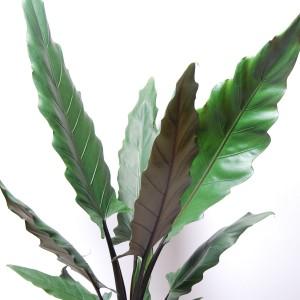 Alocasia lauterbachiana (Van der Arend Tropical Plantcenter)
