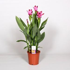Curcuma alismatifolia SIAM SPLASH