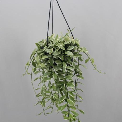 Dischidia oiantha 'Variegata' (Zeurniet, Kwekerij)