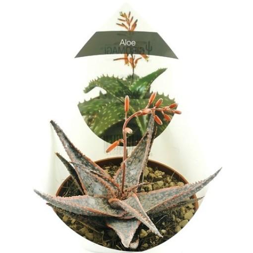 Aloe 'Christmas Carol' (Giromagi)