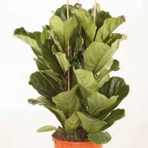 Ficus lyrata (Ammerlaan, The Green Innovater)
