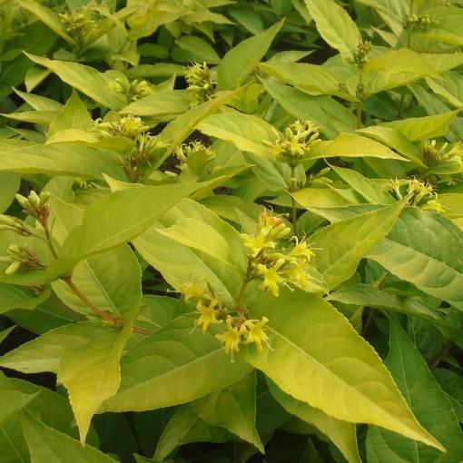 Diervilla rivularis HONEYBEE (About Plants Zundert BV)