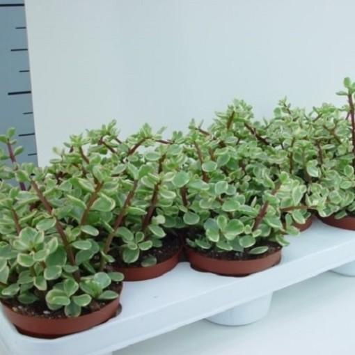 Portulacaria afra 'Variegata' (van der Hoorn Succulenten)