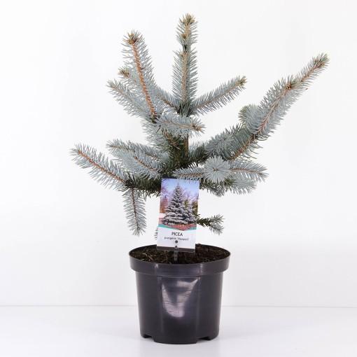 Picea pungens 'Hoopsii' (Bremmer Boomkwekerijen)