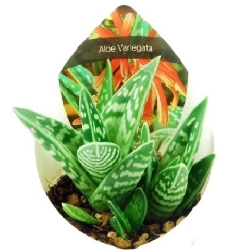 Aloe variegata (Giromagi)