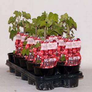 Ribes rubrum 'Rovada' (BOGREEN Outdoor Plants)