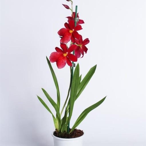 x Burrageara Nelly Isler (Lansbergen Orchids)