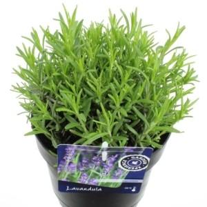 Lavandula angustifolia 'Munstead' (Kwekerij de Noordpoel)