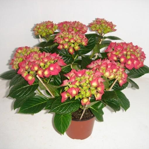 Hydrangea macrophylla AMSTERDAM (Meeslouwer)