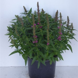 Lythrum salicaria (Experts in Green)