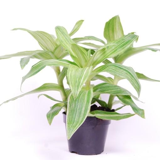 Callisia 'Infinity Variegata' (Van der Arend Tropical Plantcenter)