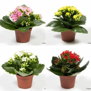 FA Kalanchoe SELECTION #260