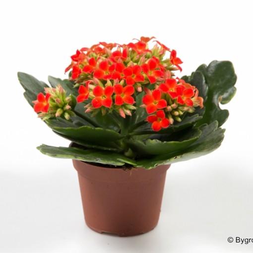 Kalanchoe blossfeldiana (Gasa DK)