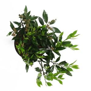 Prunus laurocerasus 'Otto Luyken' (Elst-Bevers)