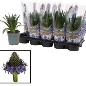 Scilla peruviana (Vreugdenhil Bulbs & Plants)