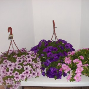Petunia SURFINIA MIX