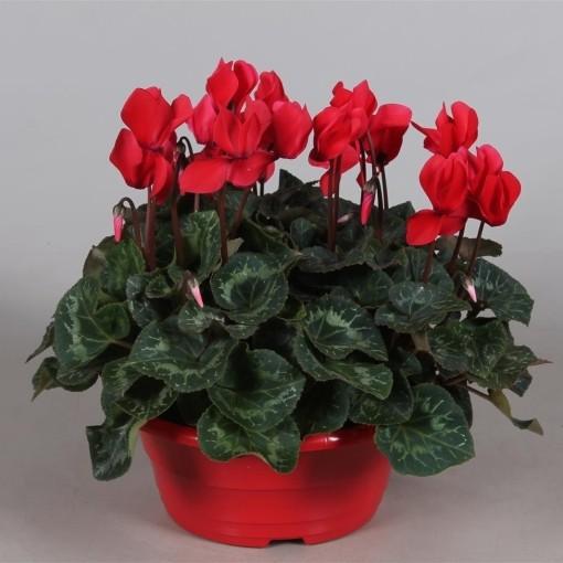 Cyclamen persicum SUPER SERIE S ALLURE RED (Adrichem Potplanten)