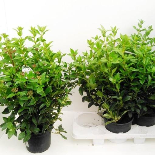 Viburnum tinus (Gasa DK)