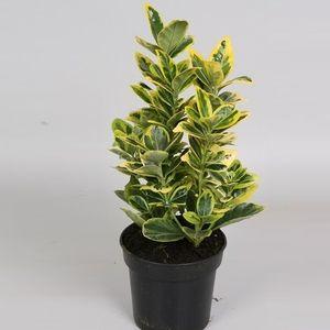 Euonymus japonicus 'Marieke'