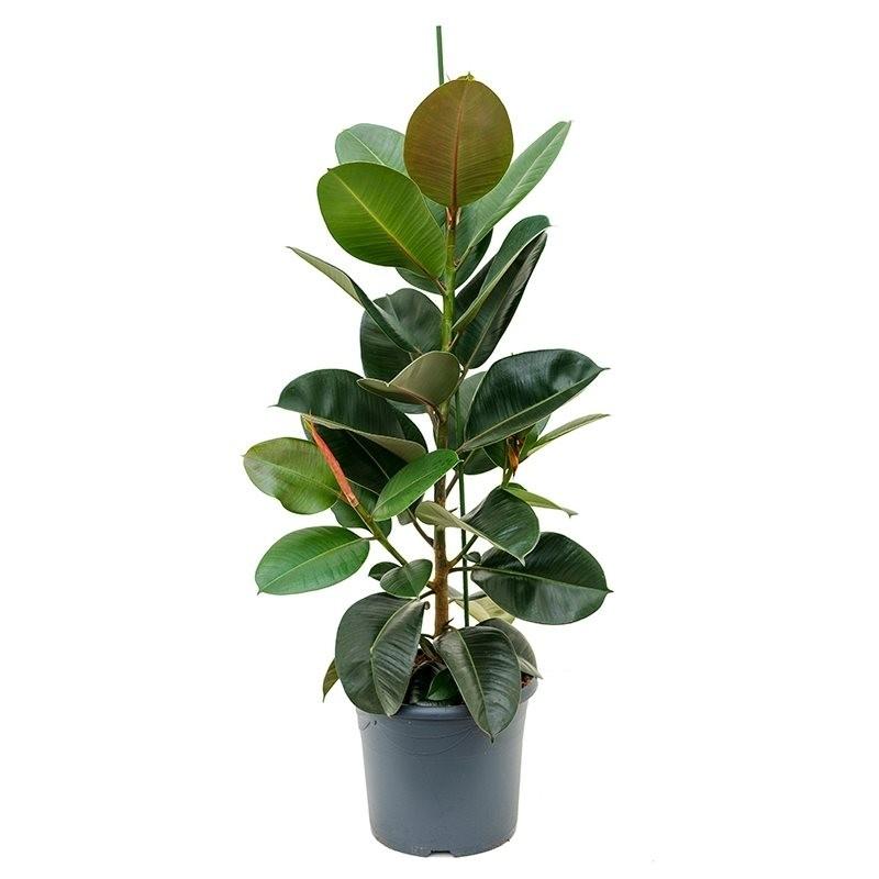 ficus elastica 39 robusta 39 p29cm h140cm floraccess wholesale of plants. Black Bedroom Furniture Sets. Home Design Ideas