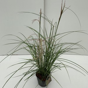 Miscanthus sinensis PINK CLOUD