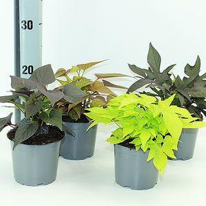 Ipomoea batatas MIX (Experts in Green)