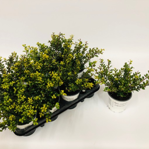 Ilex crenata 'Glory Gem' (Experts in Green)
