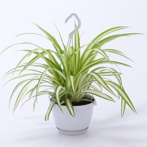 Chlorophytum comosum 'Variegatum' (Bunnik Plants)