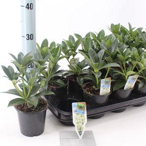 Skimmia japonica WHITE GLOBE (About Plants Zundert BV)