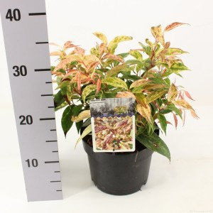 Leucothoe fontanesiana 'Rainbow' (Snepvangers Tuinplanten BV)