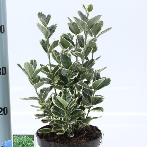 Euonymus japonicus 'Kathy' (About Plants Zundert BV)