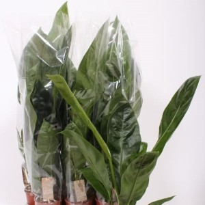Anthurium ellipticum JUNGLE KING