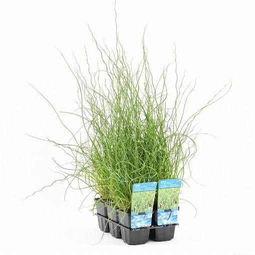 Juncus effusus 'Spiralis' (Moerings Waterplanten)
