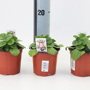 Plectranthus caninus (Experts in Green)