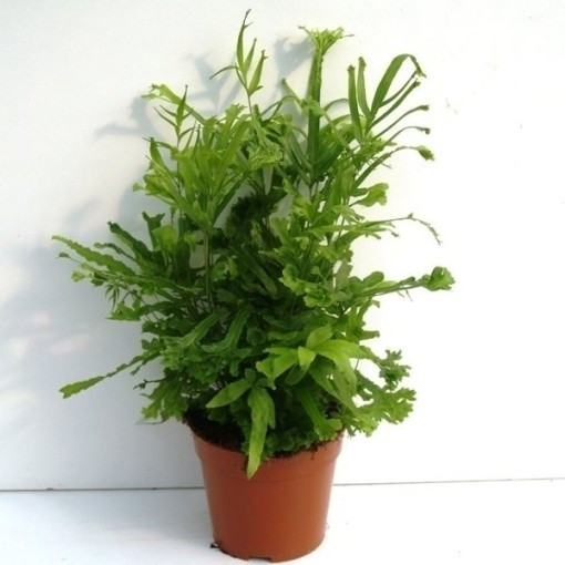Pteris cretica 'Roeweri' (Ruhé Varens B.V.)