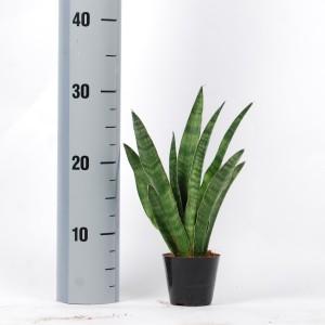 Sansevieria cylindrica 'Javanica' (Van der Arend Tropical Plantcenter)