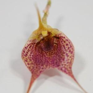 Masdevallia angulata