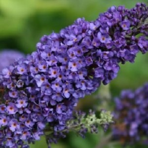 Buddleja davidii 'Empire Blue' (Hooftman boomkwekerij)