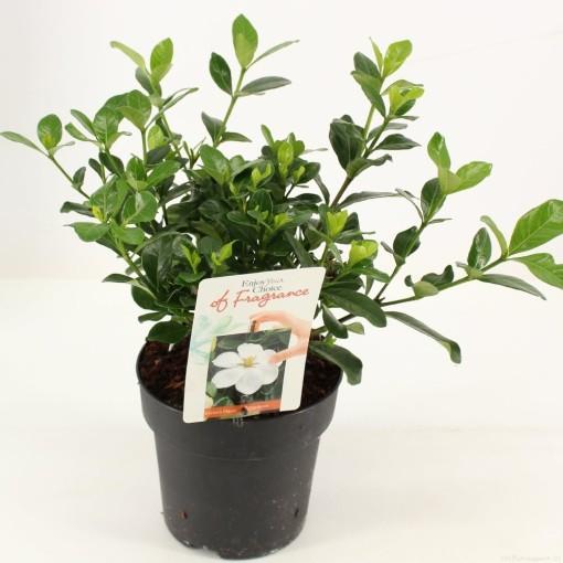 Gardenia jasminoides 'Crown Jewel' (Snepvangers Tuinplanten BV)