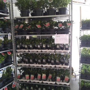 Skimmia TROLLEY #248 (About Plants Zundert BV)