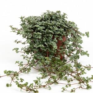 Pilea nummulariifolia (Gasa DK)