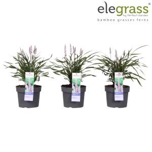 Liriope muscari 'Ingwersen' (Hoogeveen Plants)