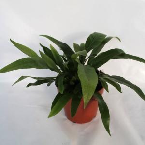 Aglaomorpha coronans (Ruhé Varens B.V.)