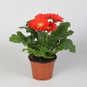 Gerbera COLOURGAME ROOD (JHL Plants)