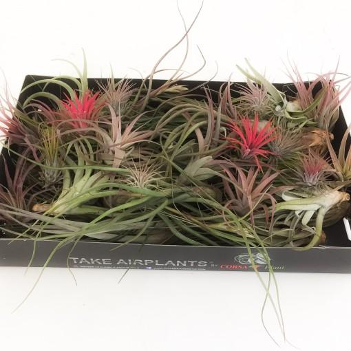 Tillandsia MIX (Corsa plant)