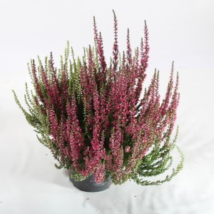 Calluna vulgaris GARDEN GIRLS MIX IN POT TWIN (Experts in Green)