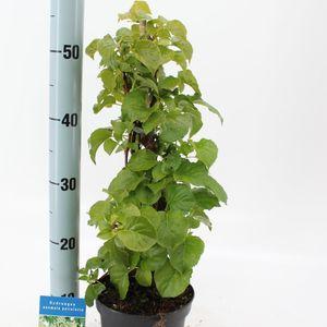 Hydrangea anomala petiolaris (About Plants Zundert BV)